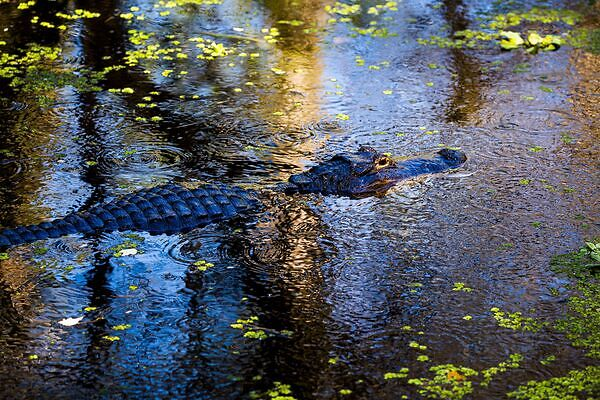 Will alligators attack me while hiking