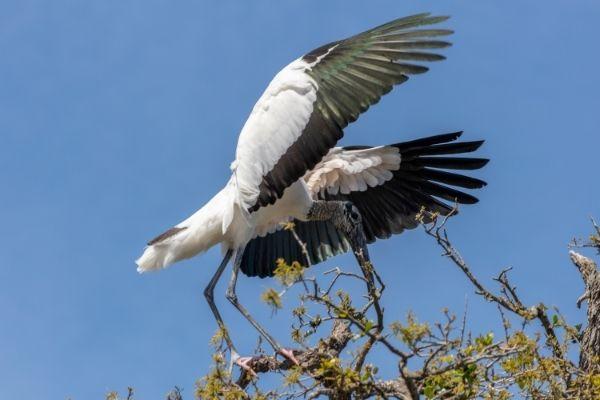 Wood Storks on bear island