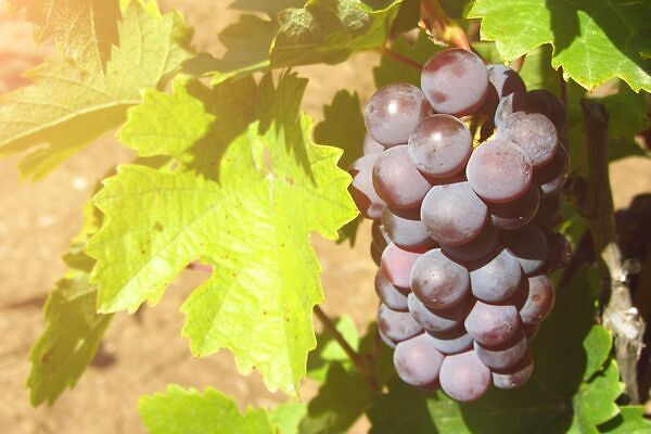 The major wine grapes come from the genus Vitis vinifera